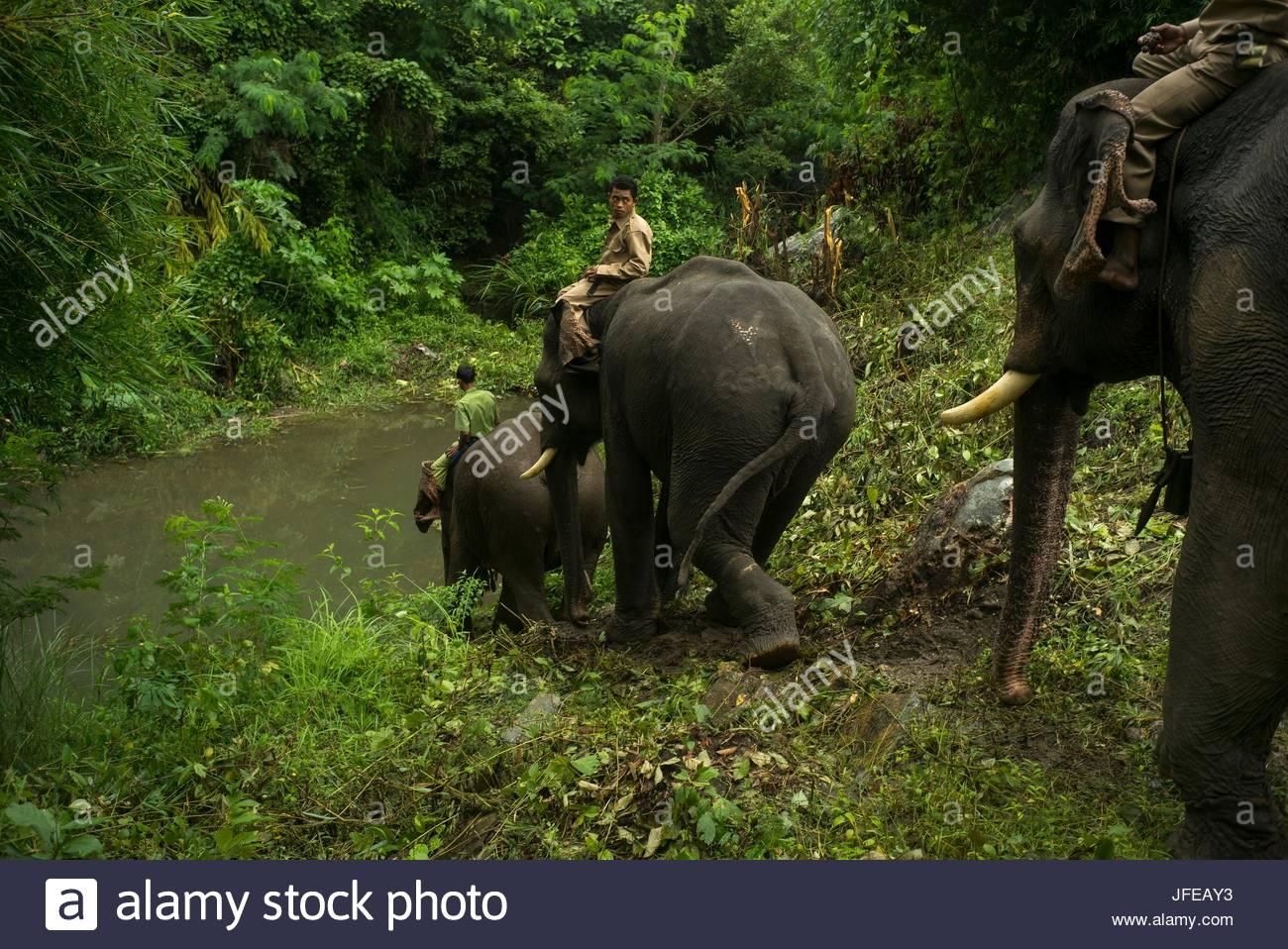 Ride hommes éléphants d'Asie, Elephas maximus, en bas d'une colline. Photo Stock