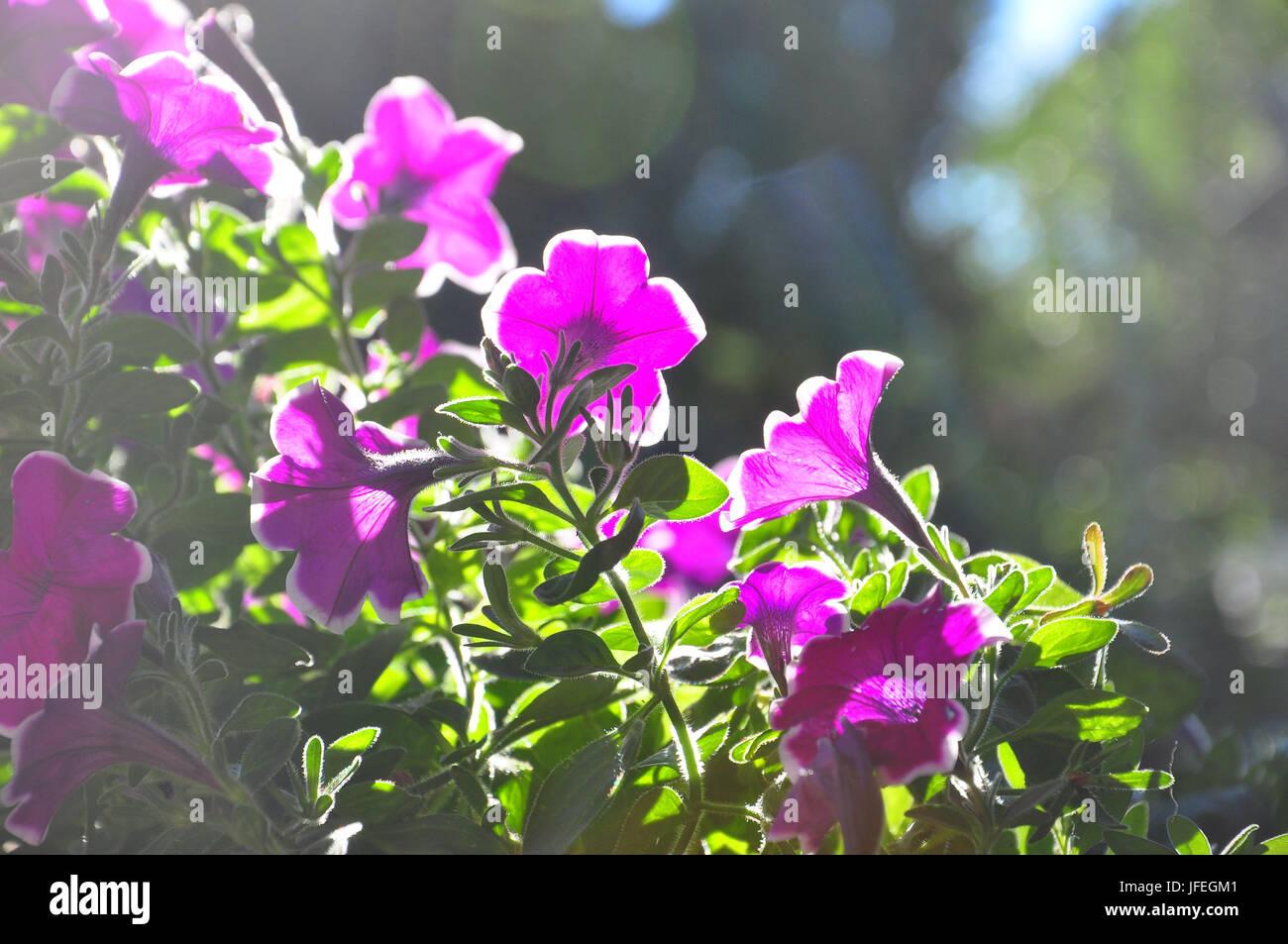 La Flore Petunia De Couleur Rose Fleur Banque D Images Photo