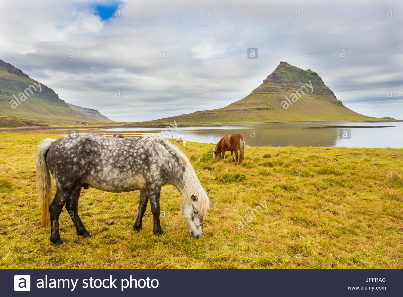 Chevaux paissant dans une prairie près de Kirkjufell Mountain, sur la côte de l'Islande. Photo Stock