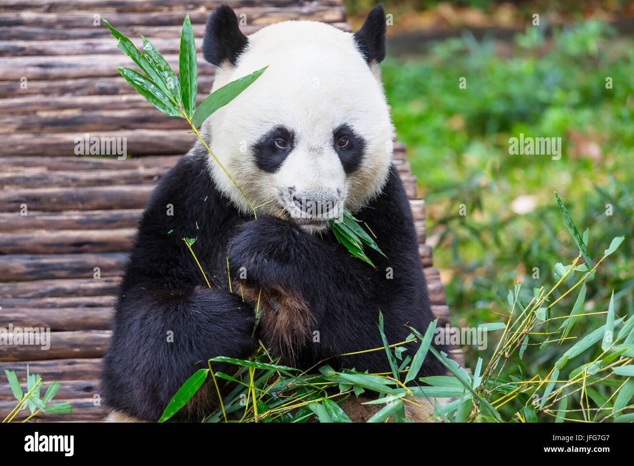 Panda Banque D'Images