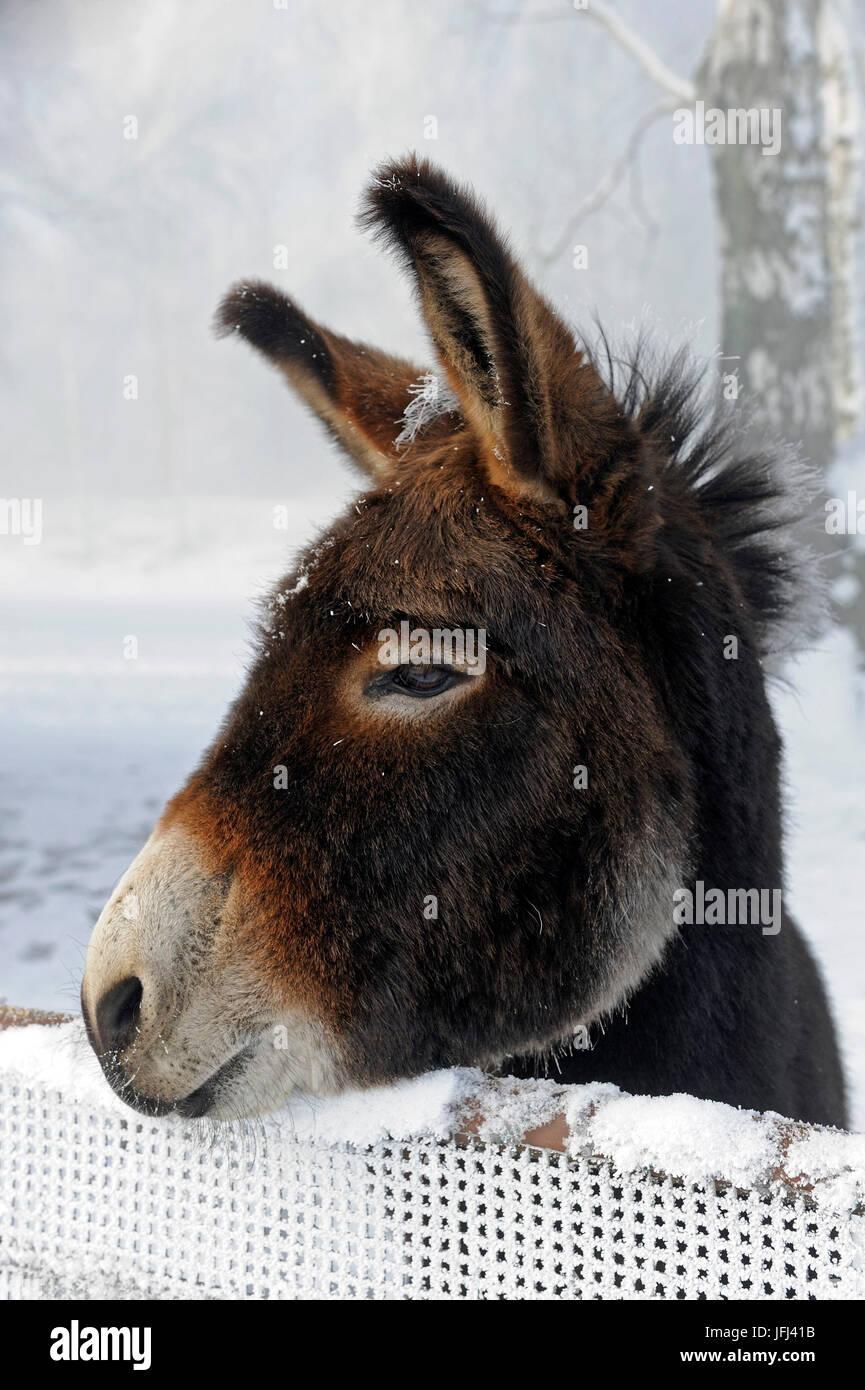 Portrait d'un âne sur ceinture couverte de neige Photo Stock