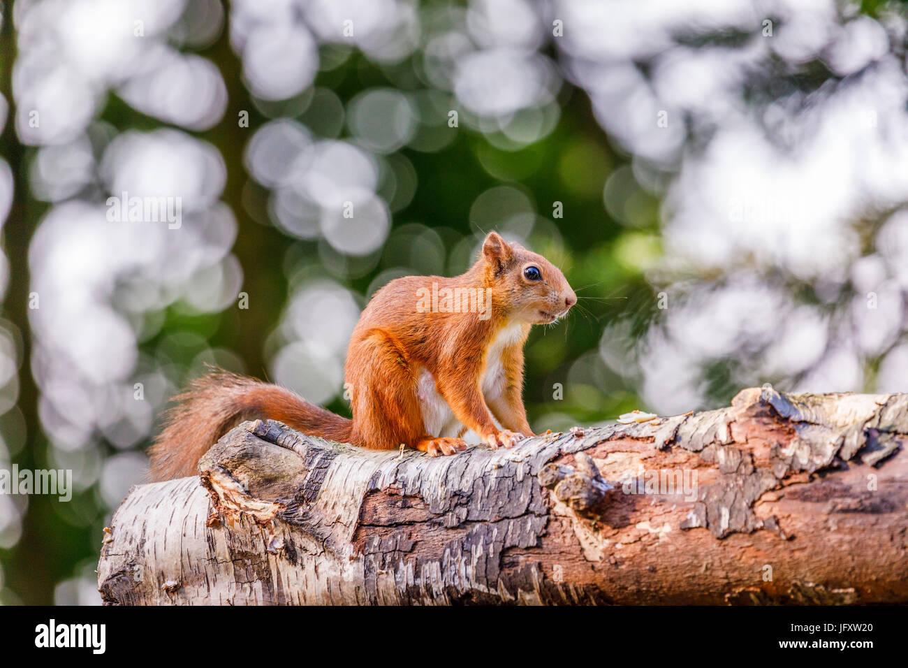 L'Écureuil roux (Sciurus vulgaris) debout accroupi sur un journal, British Wildlife Centre, Newchapel, Lingfield, Surrey, UK Banque D'Images