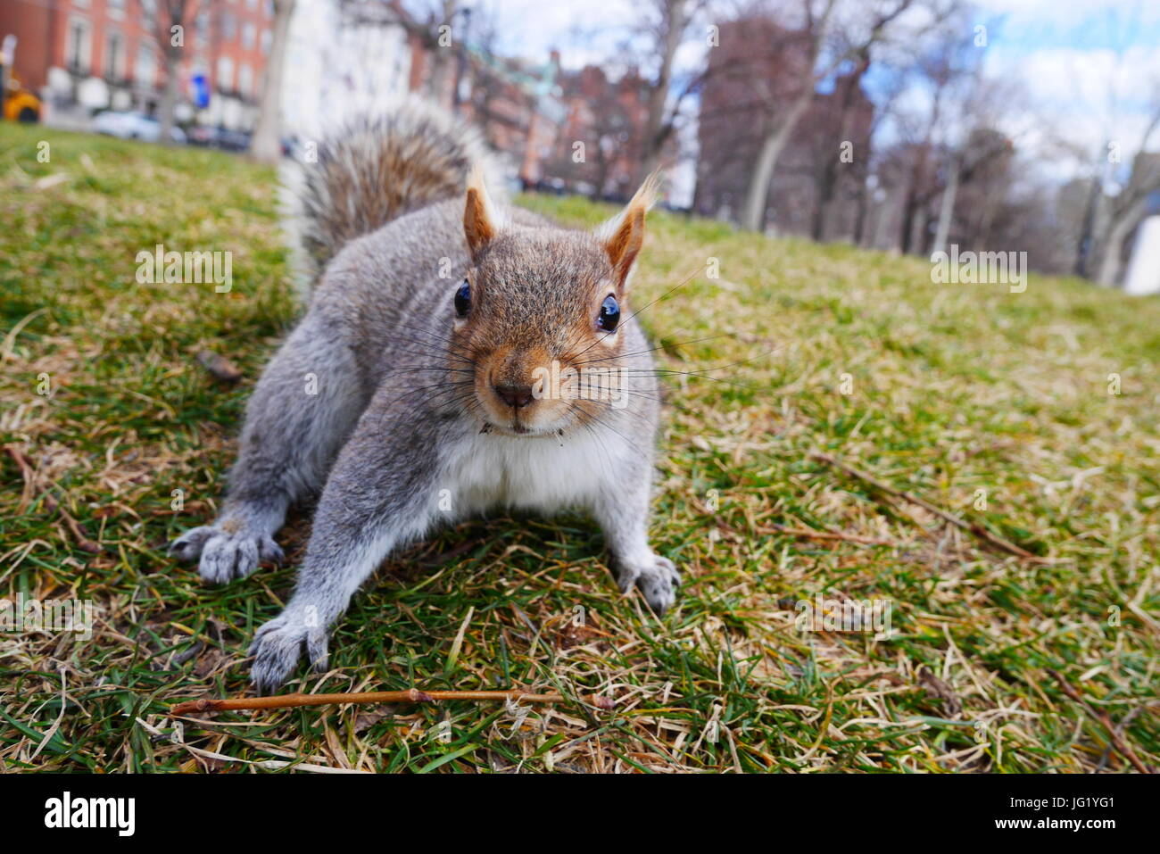 Chipmonk dans un parc à Boston Photo Stock