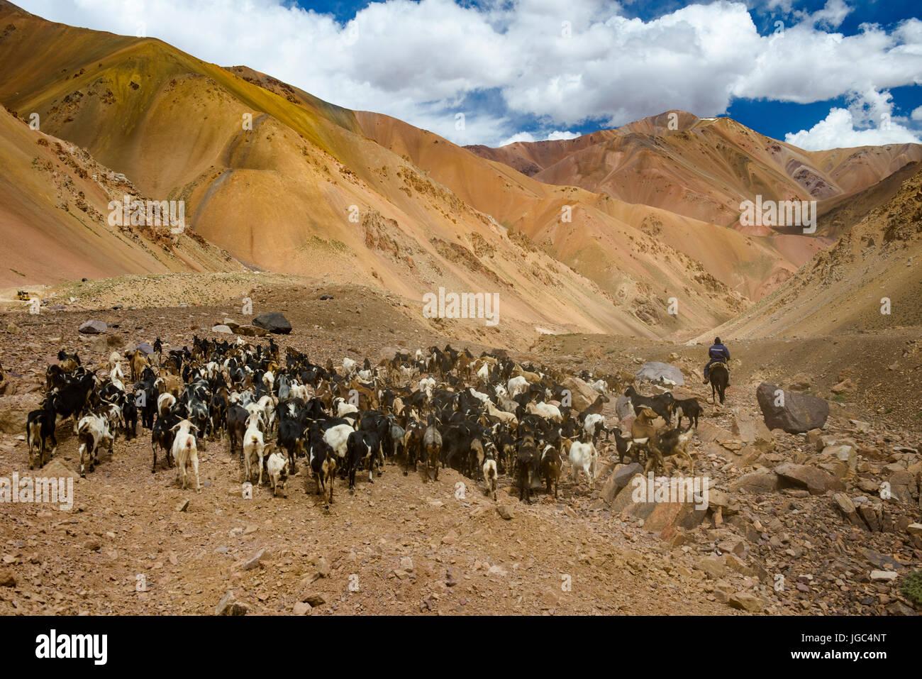 Les troupeaux de chèvres et herder,Agua Negra Pass, chili-argentine Photo Stock