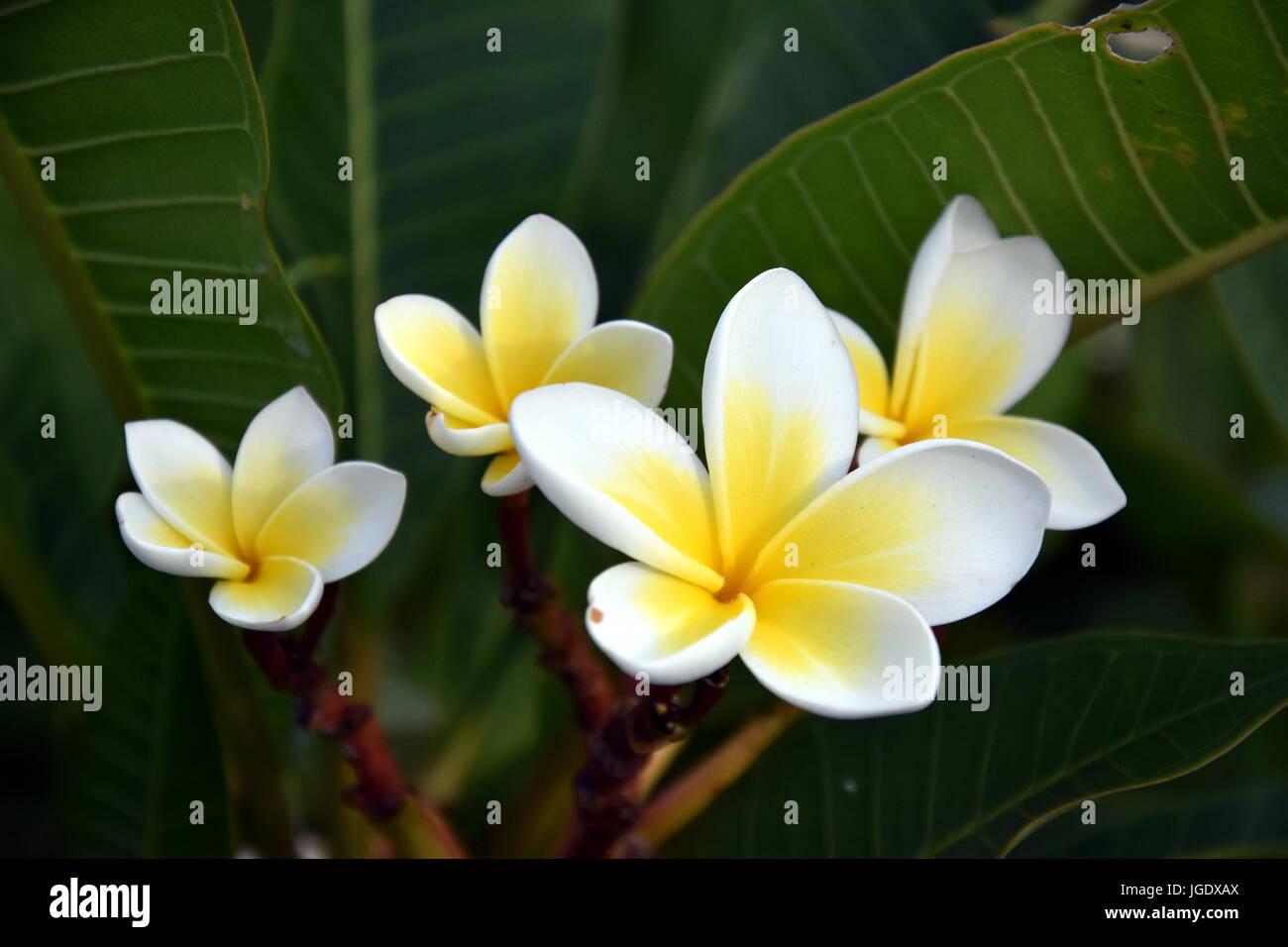 Tropical Frangipani Blanc Fleur Qui S Epanouit Sur L Arbre Plumeria