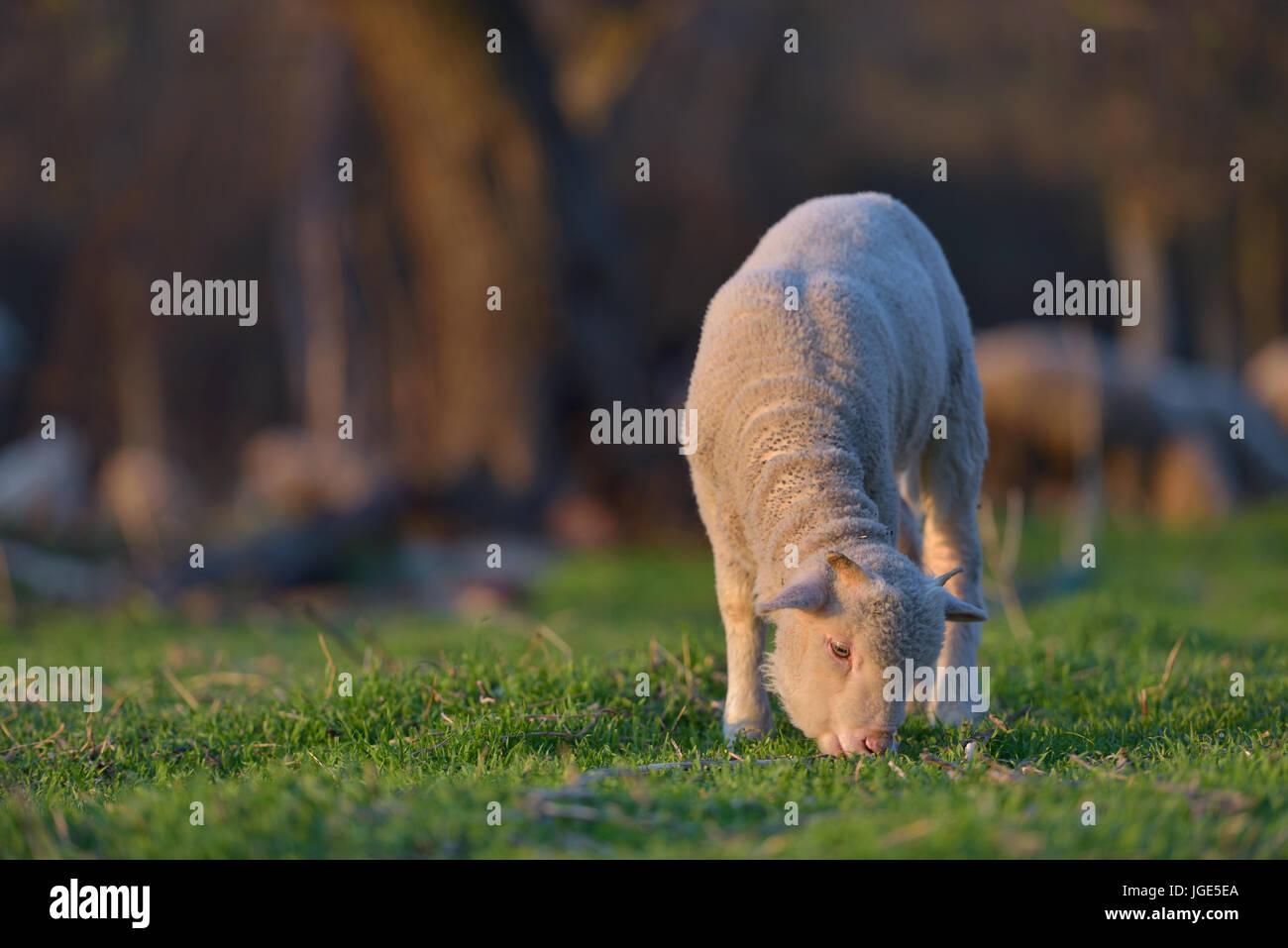 Peu d'agneau nouveau-né au printemps pâturage sur un pré vert au coucher du soleil la lumière Banque D'Images