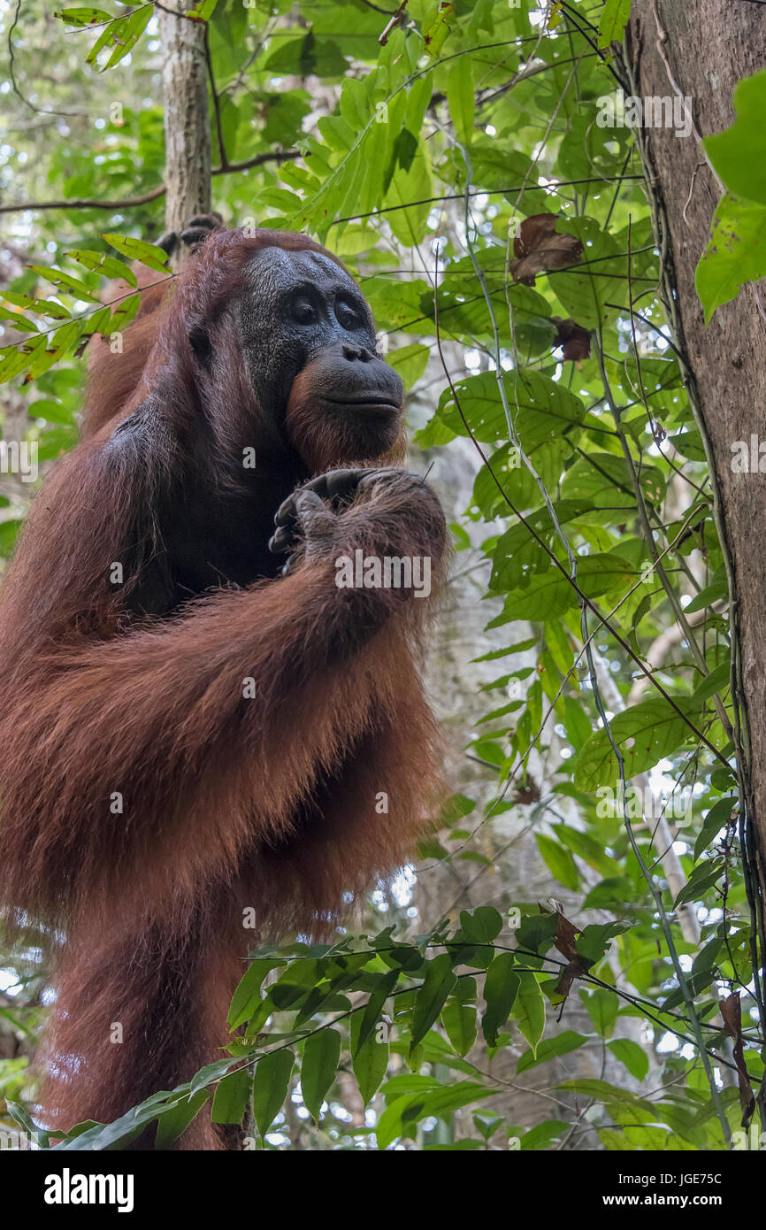 Orang-outans sauvages dans la forêt le long de la rivière Sekonyer, parc national de Tanjung Puting, province Photo Stock