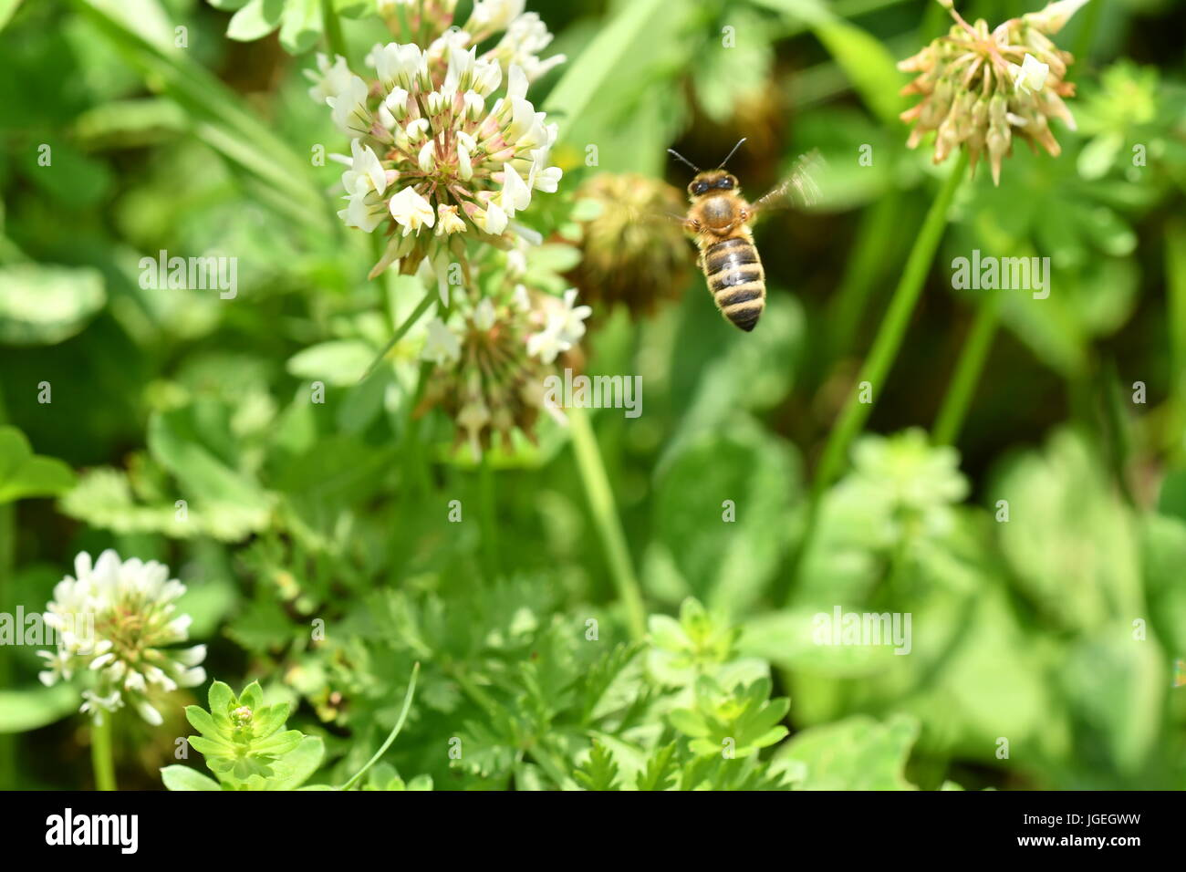 Le polinates macro d'abeille sur la fleur Banque D'Images