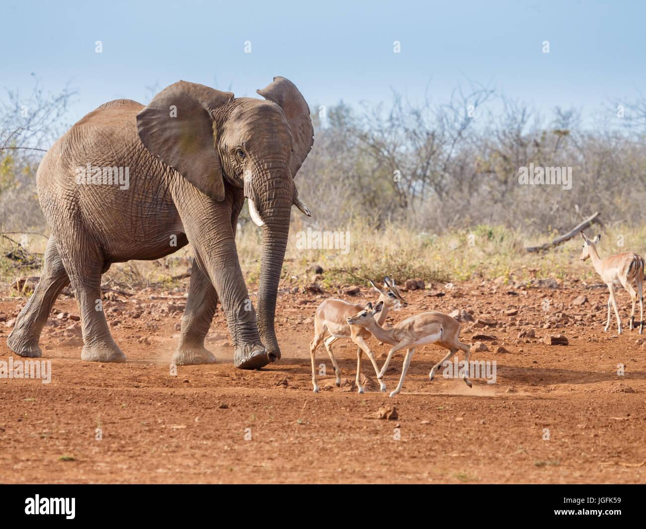 L'éléphant d'Afrique Loxodonta africana un grand animal proche de l'eau avec la diffusion Photo Stock
