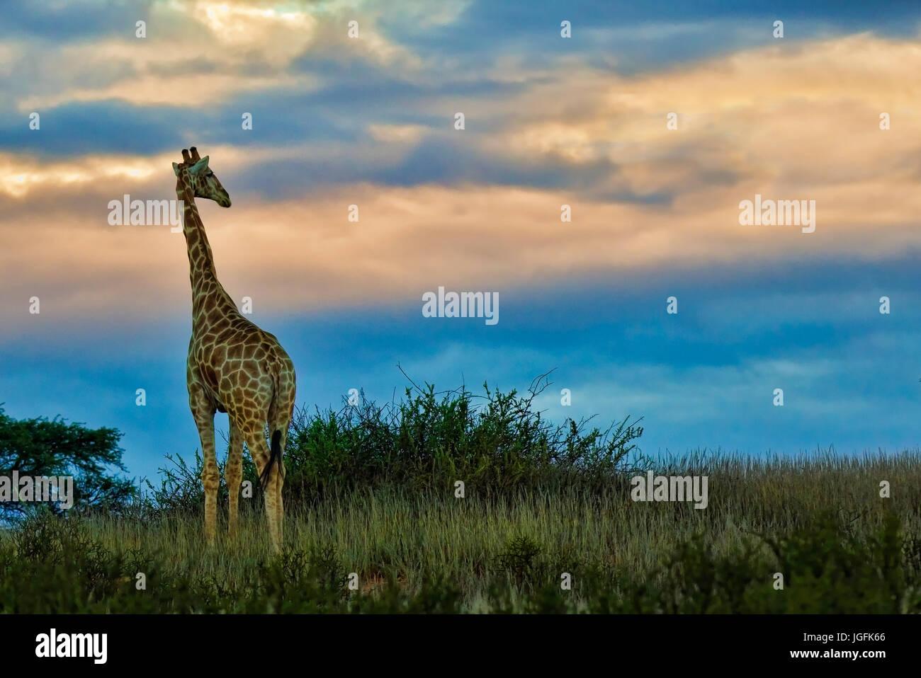 ,Giraffe Giraffa camelopardalis, est le plus haut et le plus grand des animaux ruminants. Vu ici au coucher du soleil Photo Stock