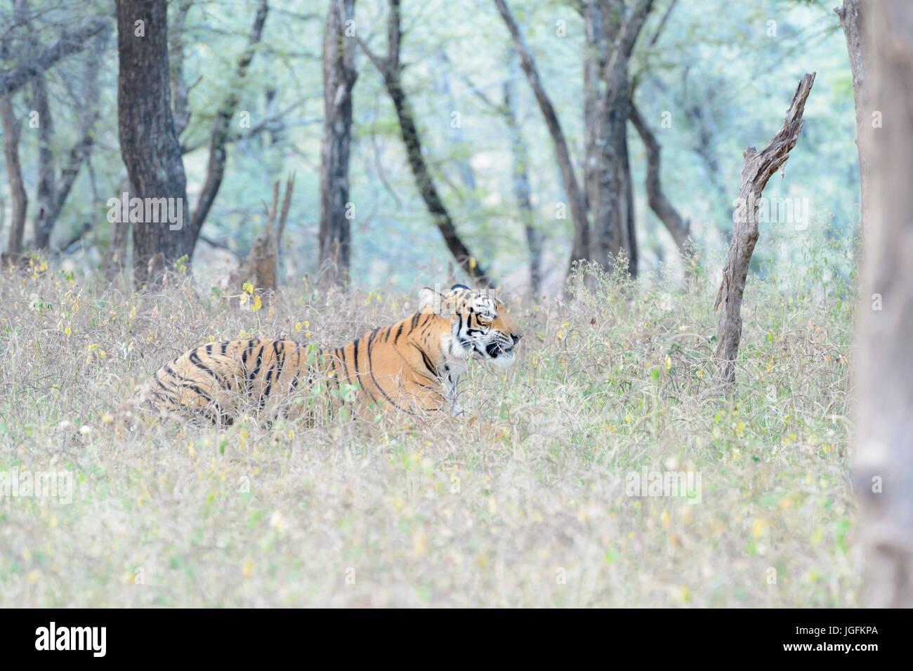 Royal tigre du Bengale (Panthera tigris tigris) couchée en forêt, parc national de Ranthambhore, Rajasthan, Photo Stock