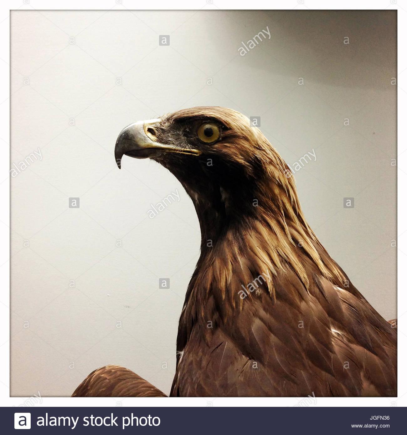 Un aigle peluche sur l'affichage au Natural History Museum à Pékin, en Chine. Photo Stock