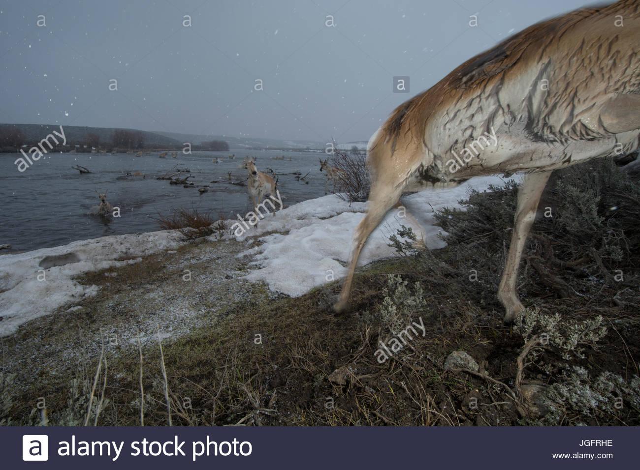 Une caméra à distance capture une antilope d'au cours de la migration dans le Wyoming. Photo Stock