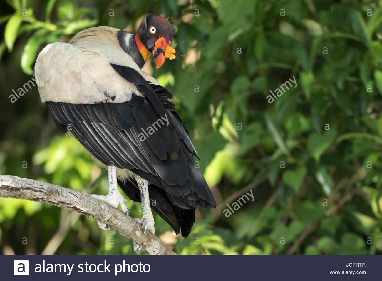 Un roi Sarcoramphus papa, vautour, est perché sur une branche d'arbre en parc national de Manu. Photo Stock