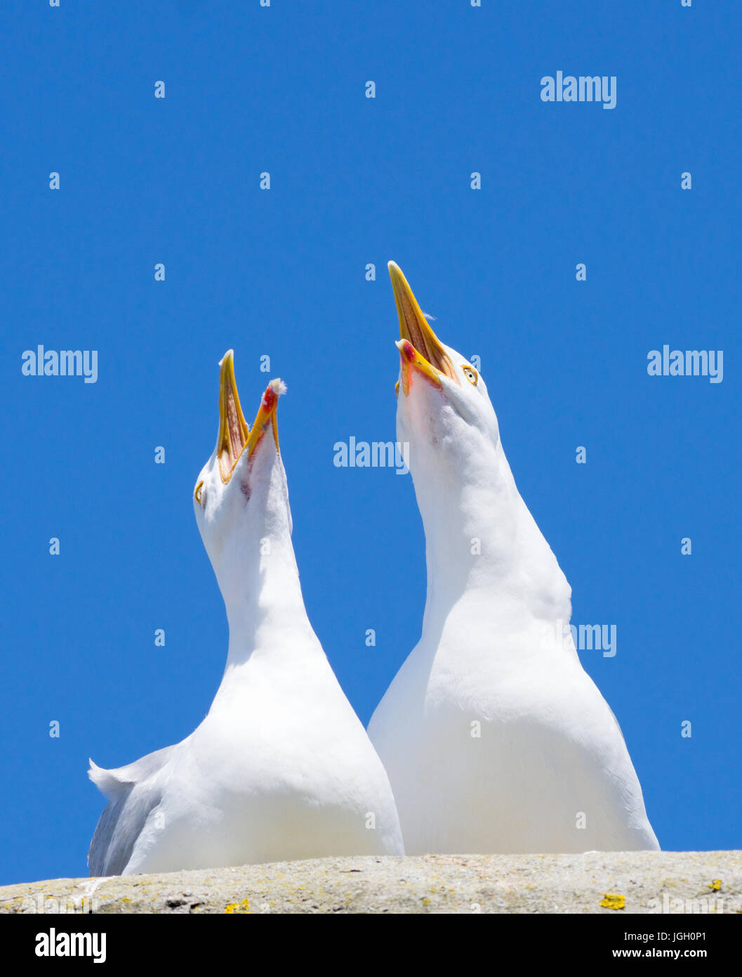 Deux mouettes oiseaux piailler bruyamment avec grand ciel bleu. Banque D'Images