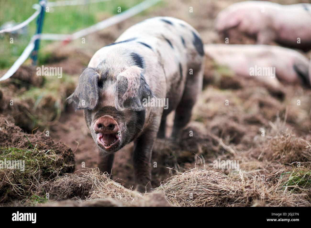 Porcinet (Sus scrofa domestica) dans une ferme biologique Photo Stock