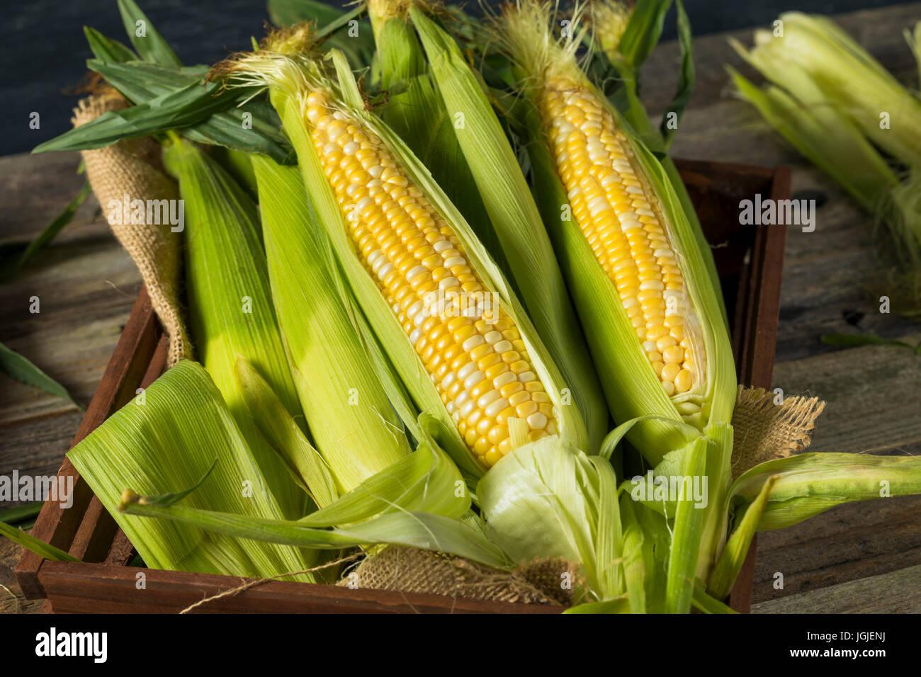 Les matières organiques des épis de maïs jaune prêt à manger Photo Stock