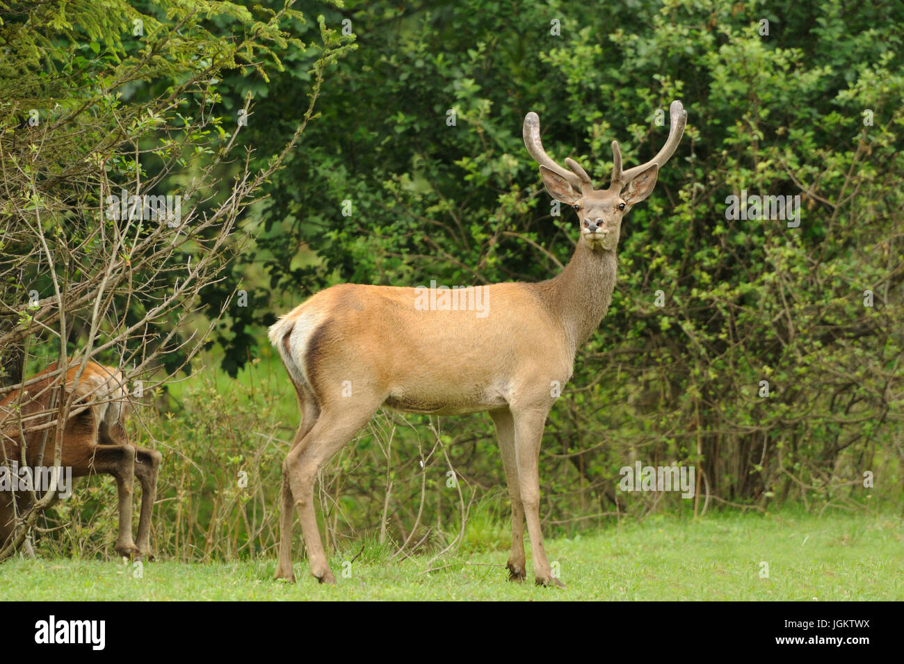 Cerfs de l'Altaï dans leur habitat naturel Photo Stock