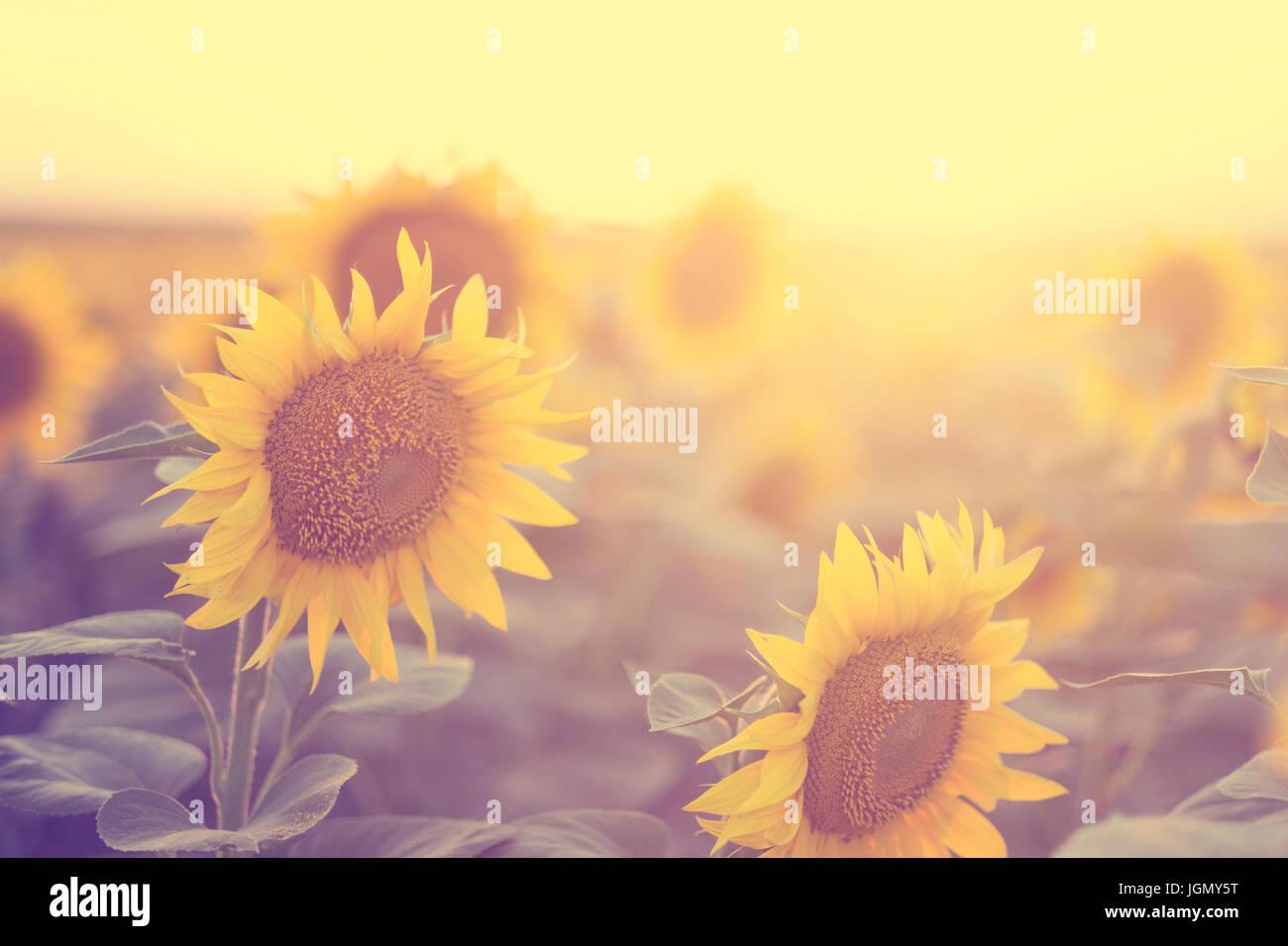 Champ de tournesol coucher du soleil en été Photo Stock