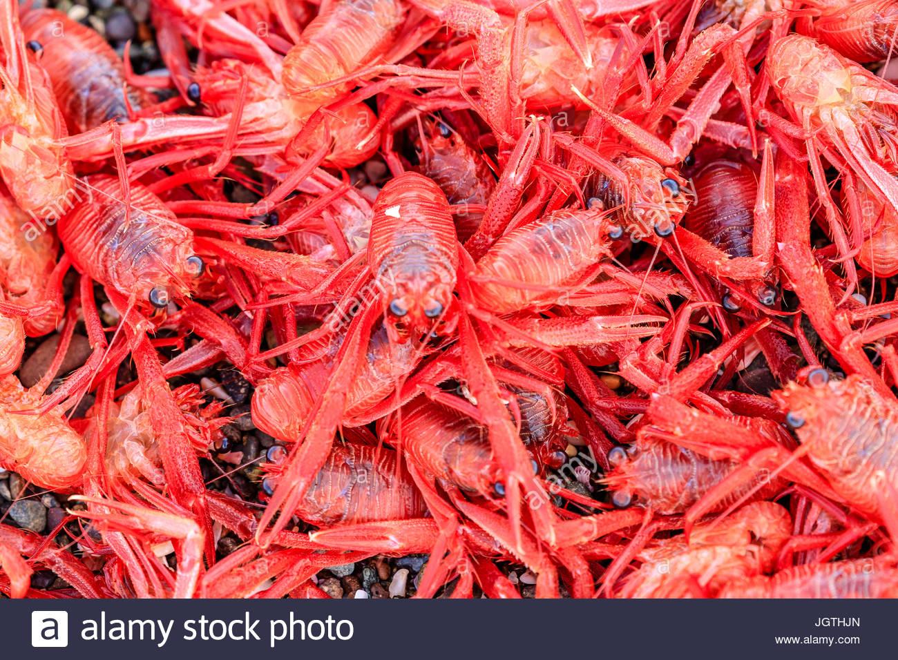 Un gros plan de crabes pélagiques rouge. Photo Stock