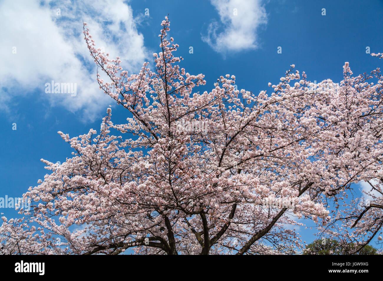 Sakura Fleurs De Cerisier Dans Le Jardin National De Shinjuku Gyoen