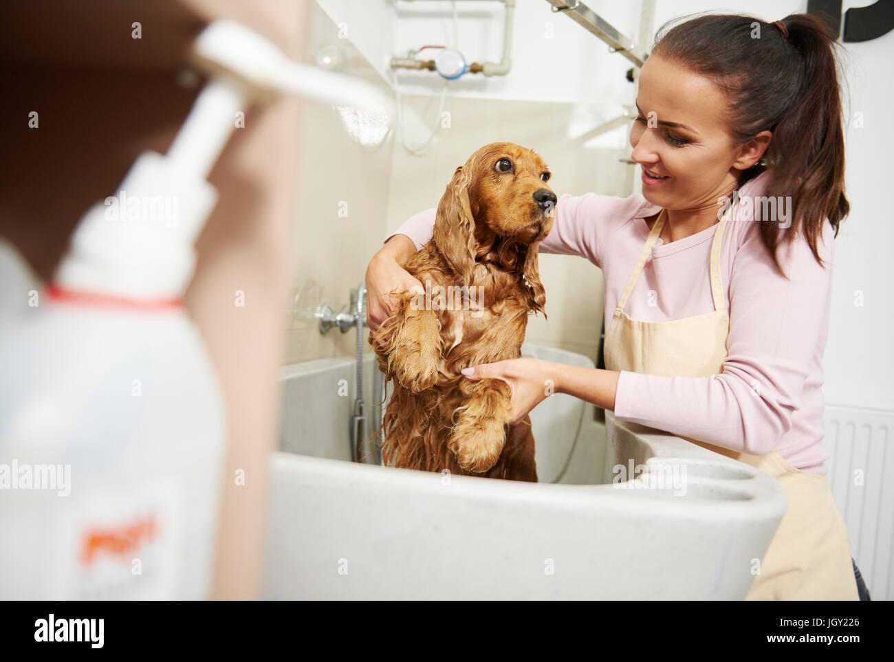 Toiletteur femelle cocker baignade dans la baignoire au salon de toilettage de chien Banque D'Images