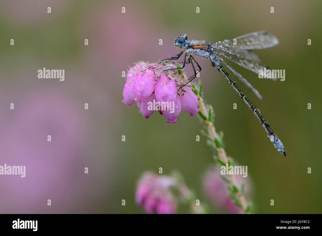 Demoiselle d'émeraude commun Spreadwing ou sur fleur de contre-leaved Heath couvert de rosée du matin, Banque D'Images