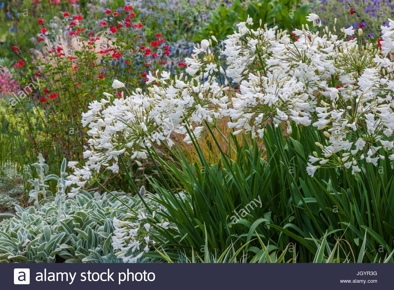 Agapanthus 'paradis blanc' Photo Stock