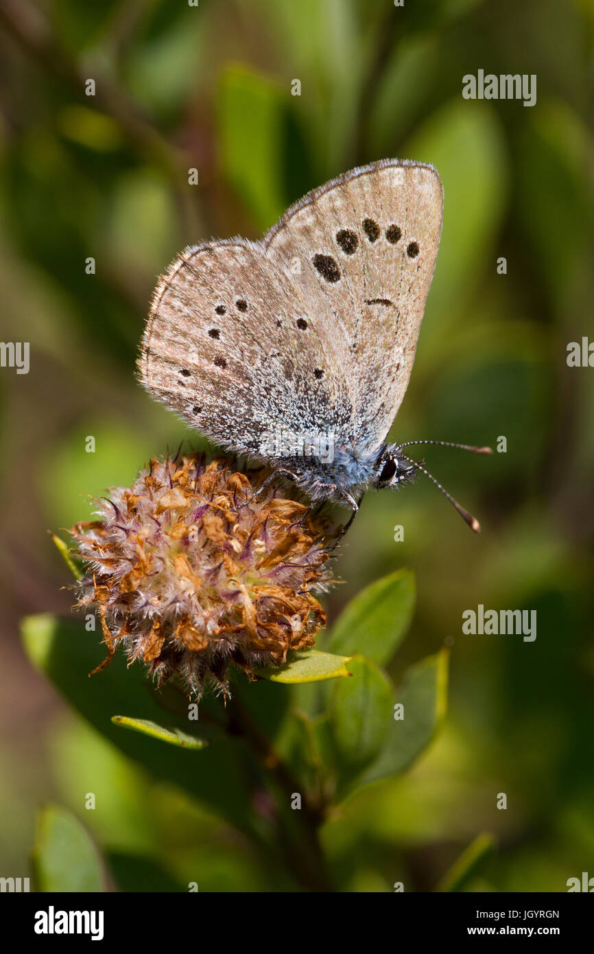 Black-eyed Blue (Glaucopsyche melanops) papillon mâle adulte. Chaîne des Alpilles, Bouches-du-Rhône, Photo Stock