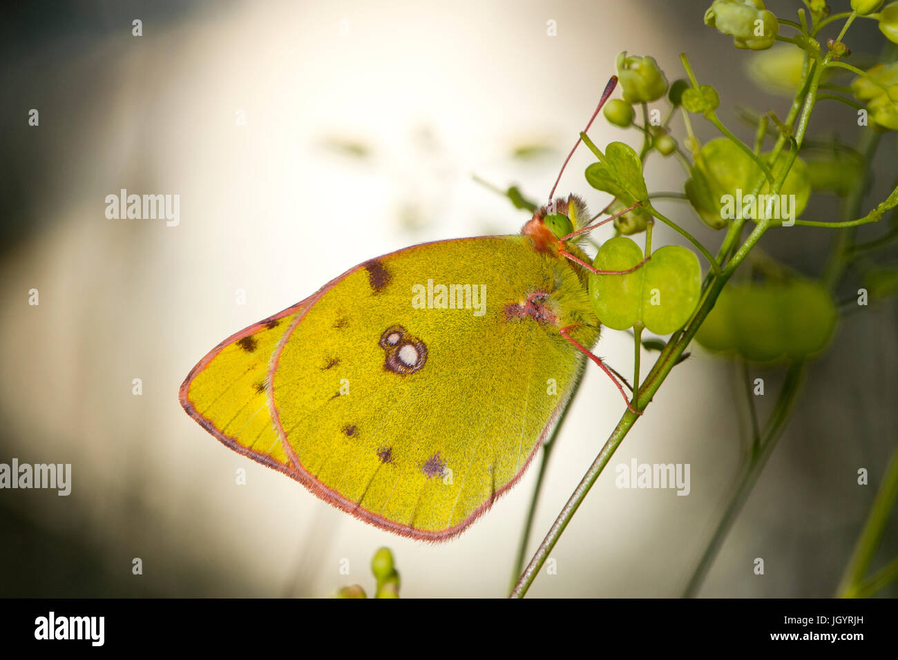 Papillon jaune assombrie (Colias croceus) adulte. Sur le Causse de Gramat, Lot, France. Mai. Photo Stock