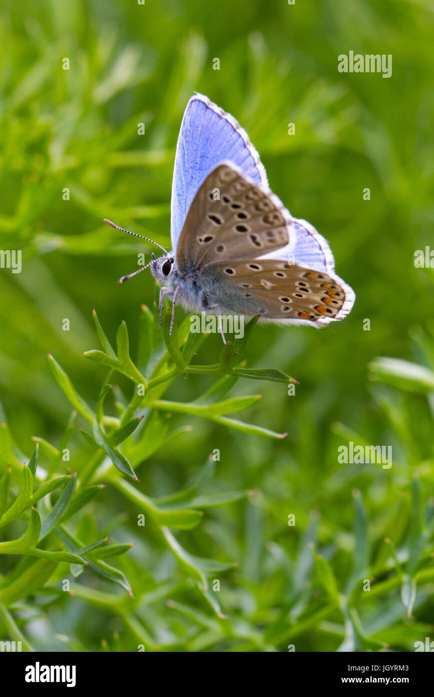 Blue (Polyommatus bellargus Adonis) papillon mâle adulte. Sur le Causse de Gramat, Lot, France. Mai. Photo Stock