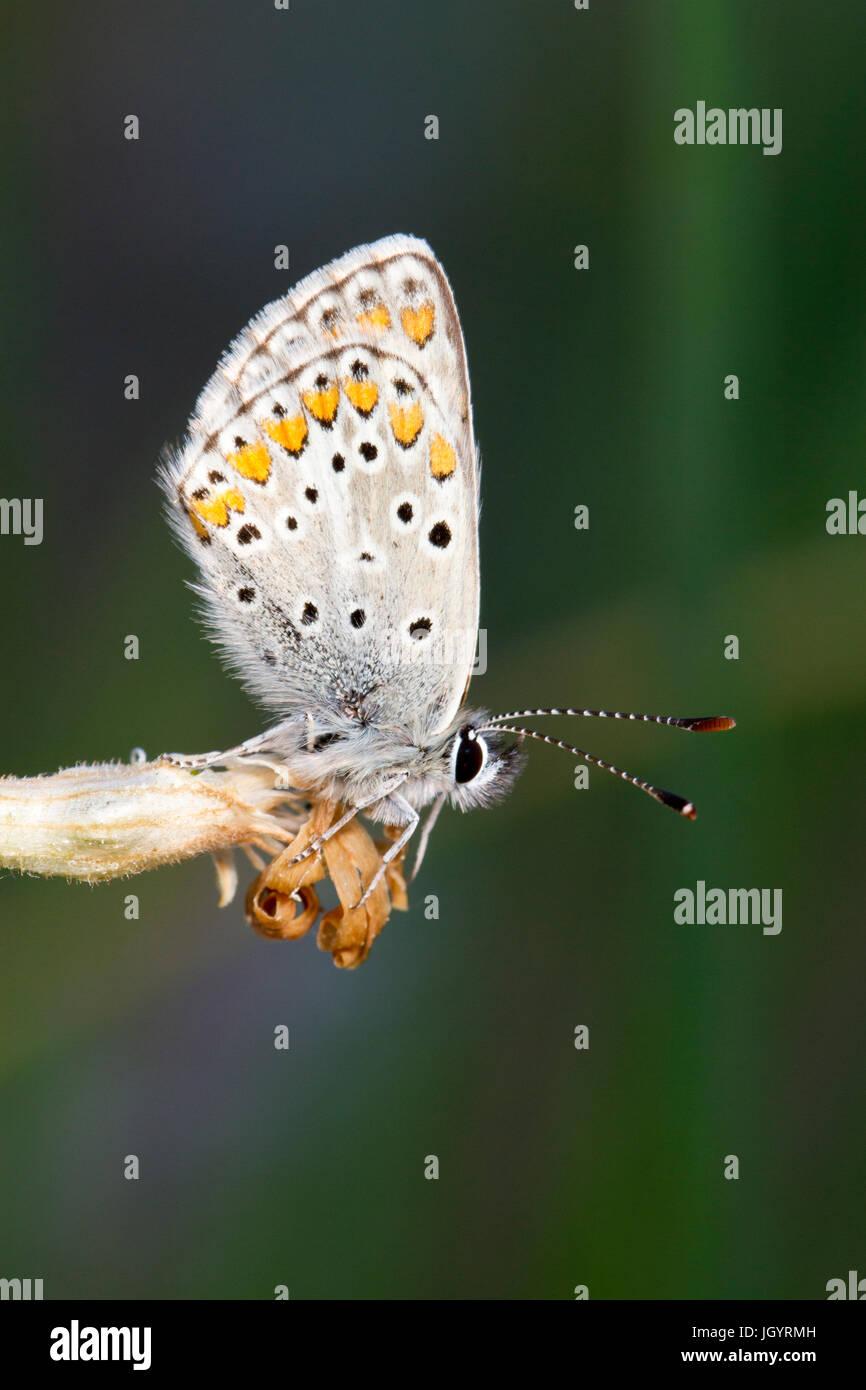 Aricia agestis Argus brun (papillon) mâle adulte se percher dans la soirée. Sur le Causse de Gramat, Lot, Photo Stock