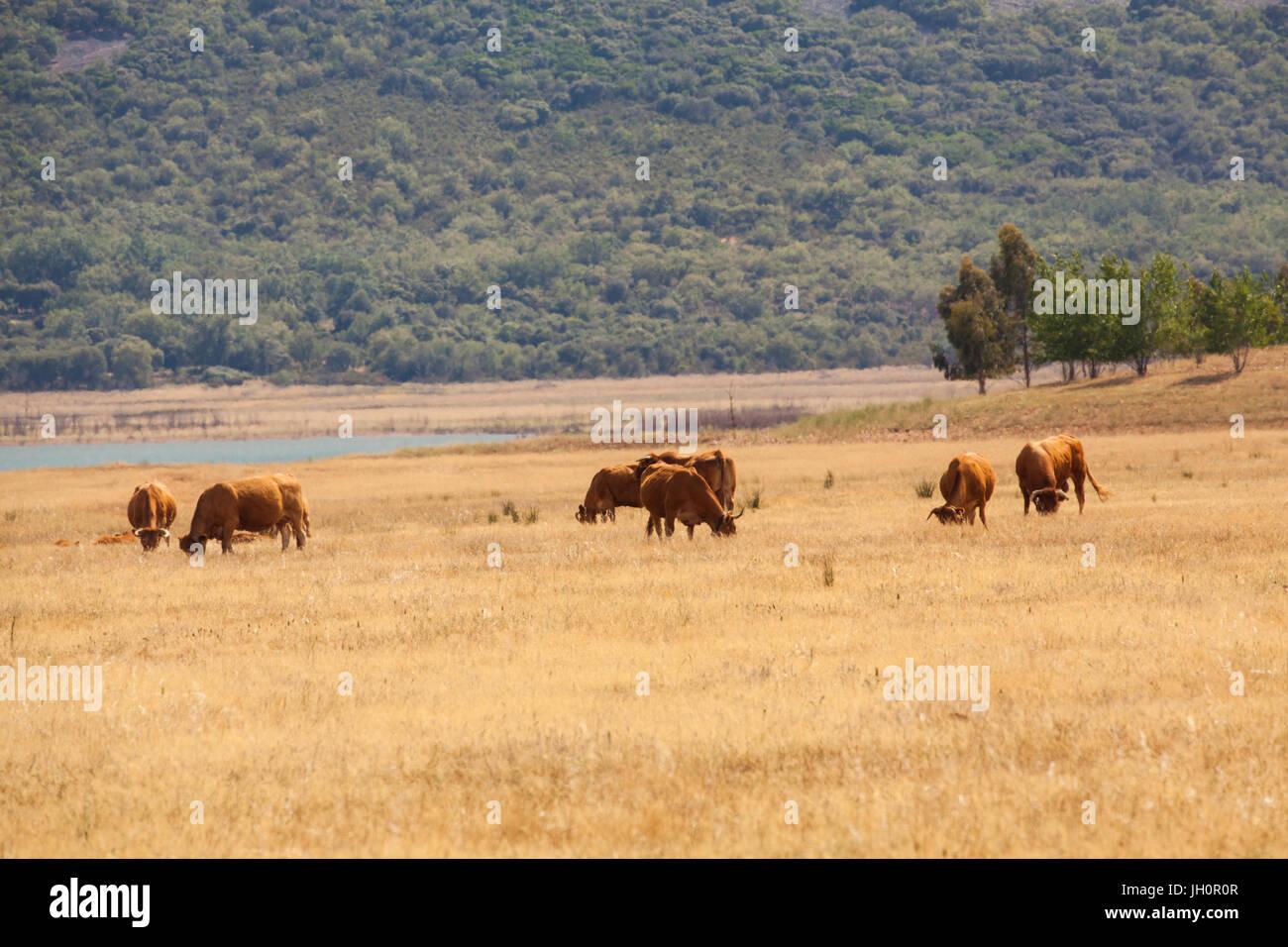 Le pâturage du bétail sur les plaines d'La-Mancha dans la région Castilla -La-Macncha du centre Photo Stock