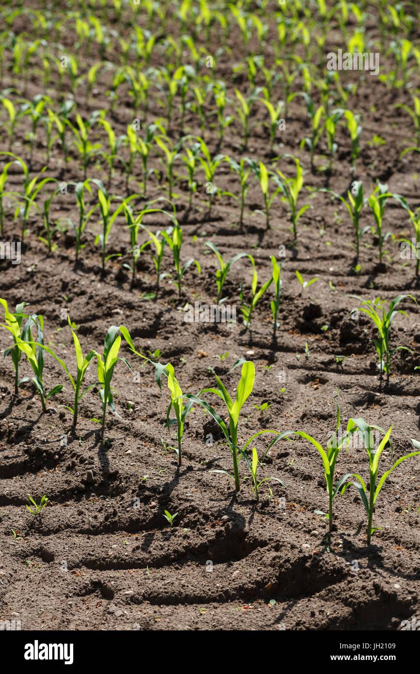 Les jeunes plants de maïs ou de maïs en rangées parallèles dans un domaine agricole. Photo Stock
