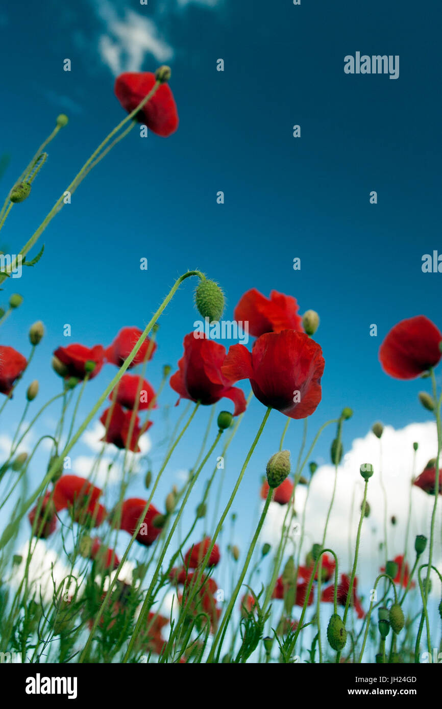 Belle fleur fleur de pavot Photo Stock