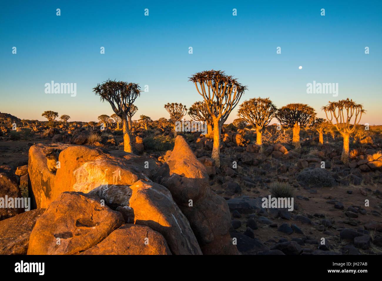 Forêt Quiver Tree (Aloe dichotoma) au coucher du soleil, Ferme Gariganus, Keetmanshoop, Namibie, Afrique du Photo Stock