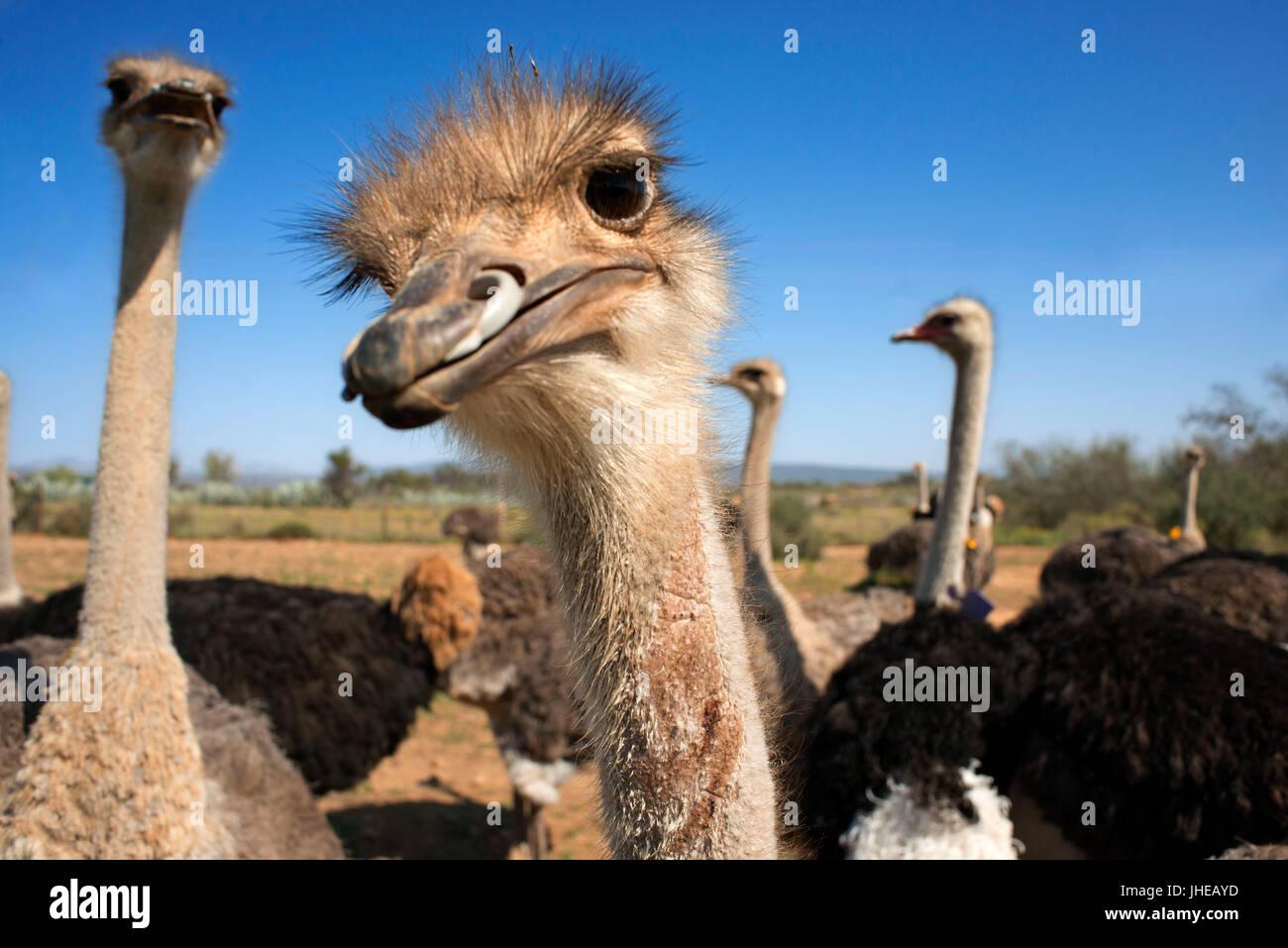 Safari ostrich show farm Oudtshoorn, Petit Karoo, Afrique du Sud, l'Afrique Photo Stock