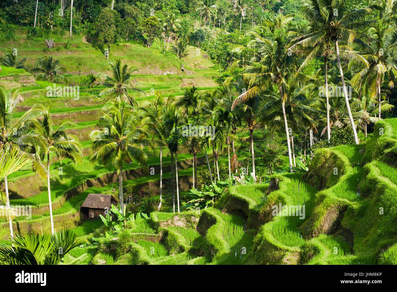 Belles rizières en terrasses dans la lumière du matin, Ubud, Bali, Indonésie. Photo Stock