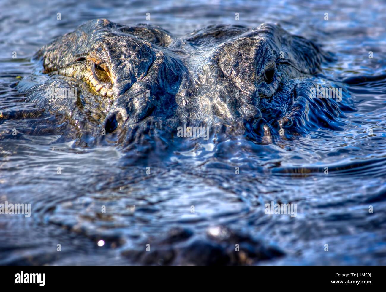 Un alligator de 12 pieds regarde directement dans la caméra dans les Everglades de Floride. Ce type d'alligator Photo Stock