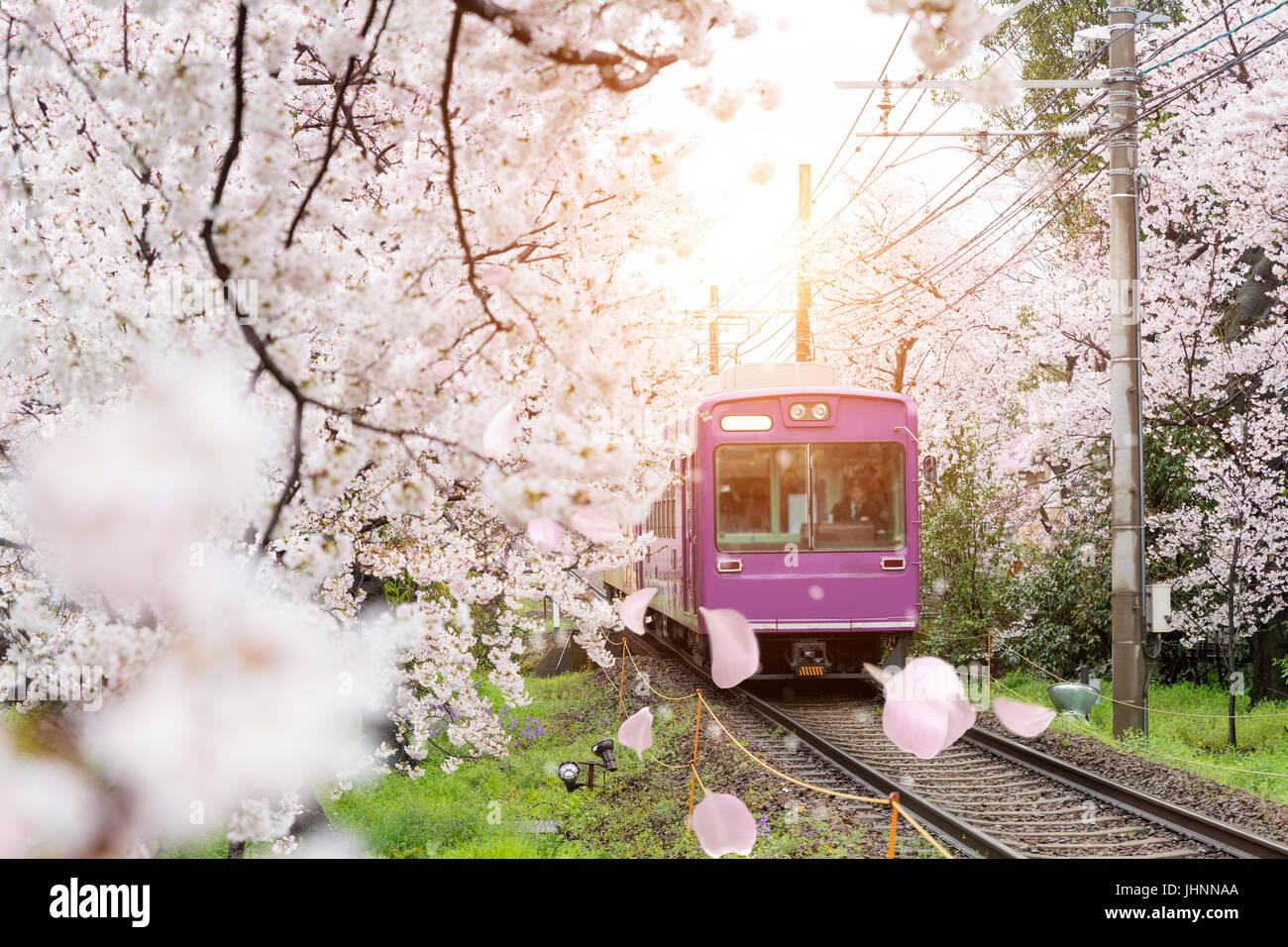 Avis de locaux de Kyoto train roulant sur les rails avec des fleurs de cerisiers florissant le long de la voie ferrée Photo Stock