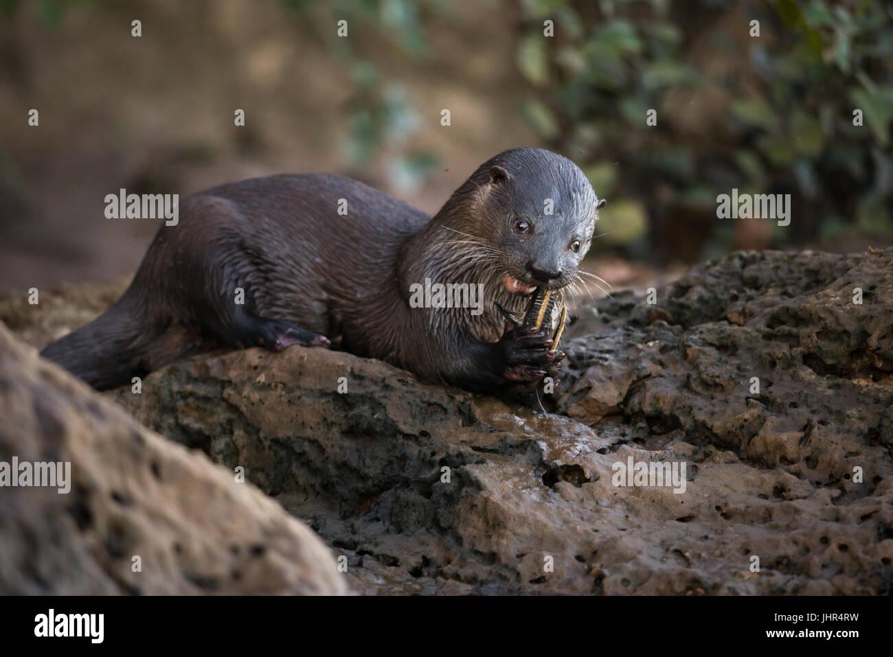 Une loutre néotropicale de manger un poisson Banque D'Images
