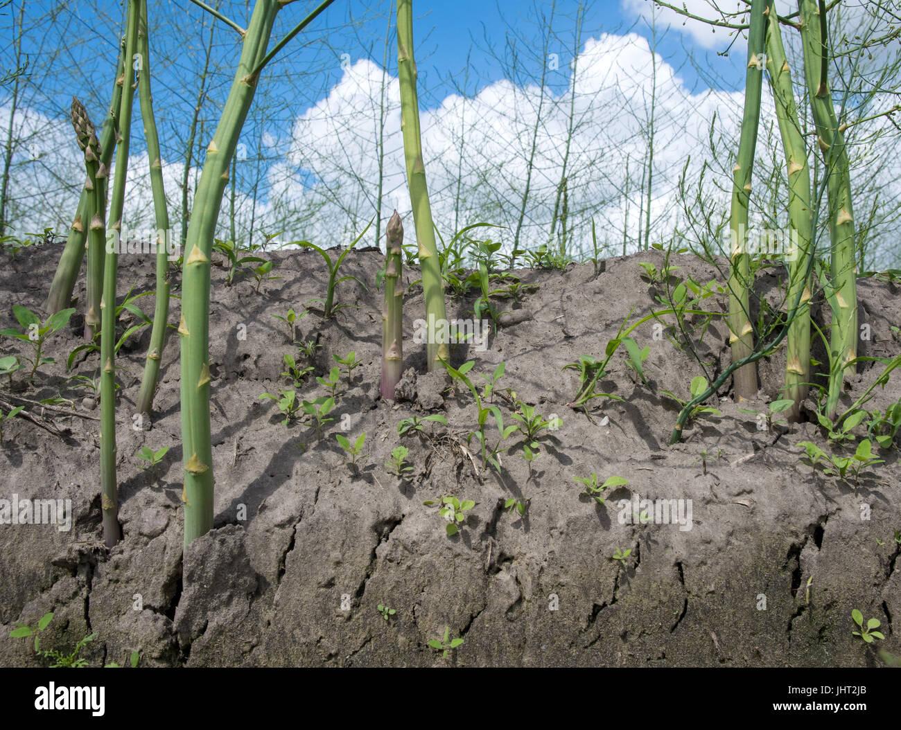 Harpstedt, Allemagne. 15 juillet, 2017. Environ un mètre de hauteur d'Asparagus et peut être vu sur un champ près de Harpstedt, Allemagne, 15 juillet 2017. Après la fin de la récolte d'asperges le 24 juin, l'usine a besoin de cultiver un bush vert avec de fines feuilles en forme d'aiguille,. Ce faisant, les asperges peuvent acquérir assez de force jusqu'à la première gelée pour survivre à l'hiver. Photo: Ingo Wagner/dpa/Alamy Live News Banque D'Images