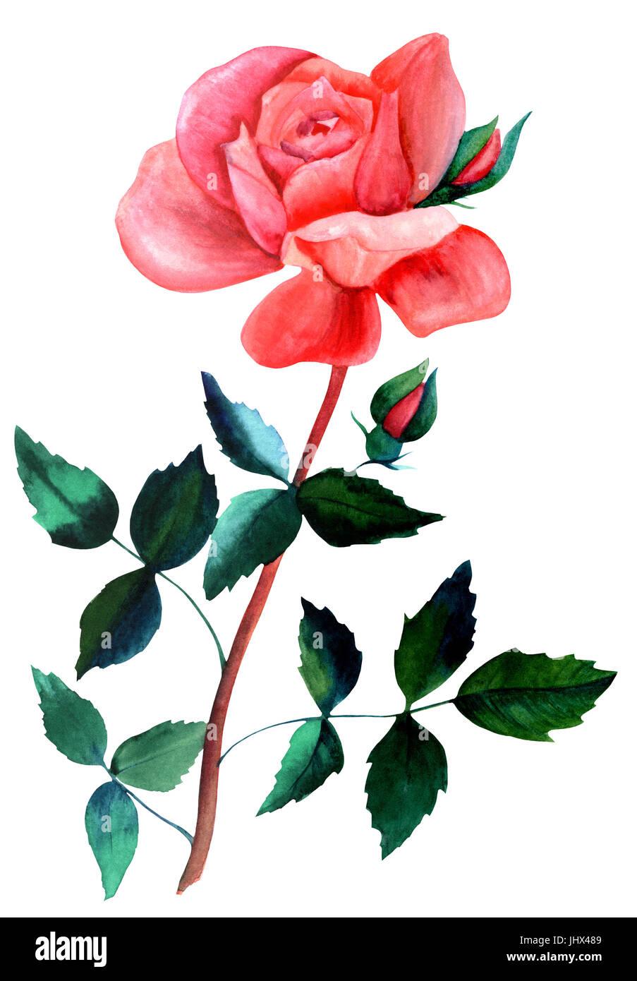 Une Aquarelle Dessin D Une Rose Rouge Fleur Isole Sur Blanc La