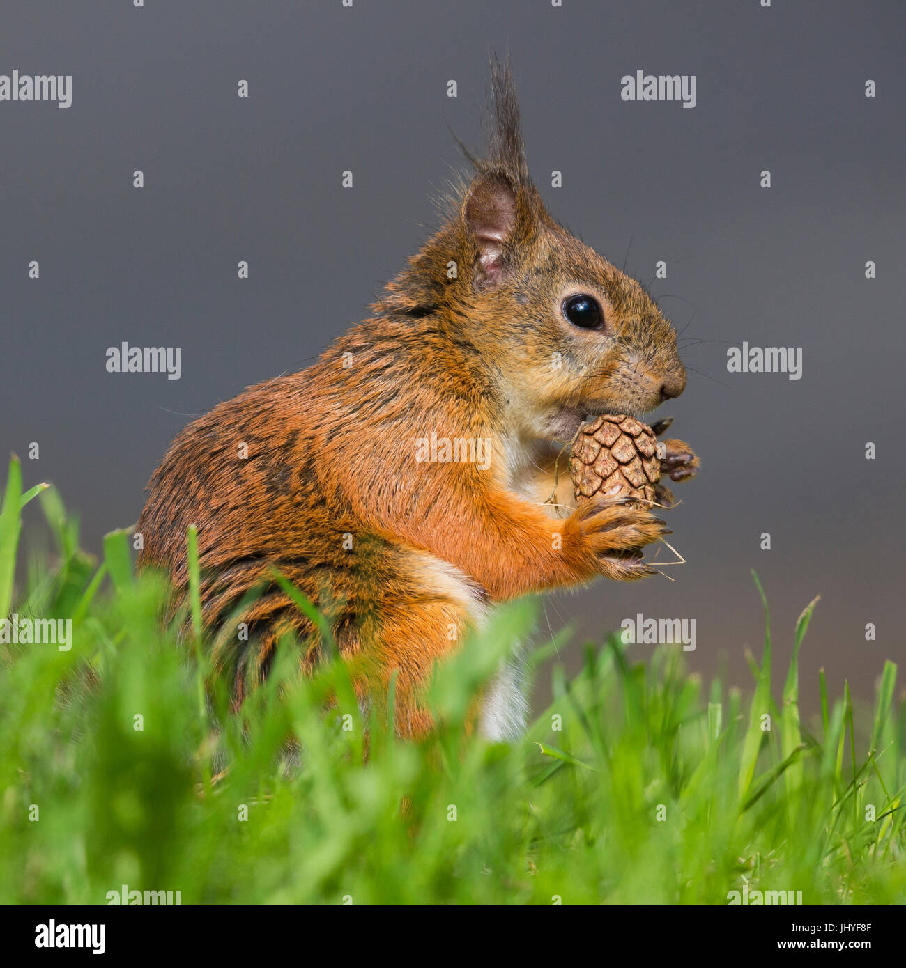 L'Écureuil roux (Sciurus vulgaris), l'alimentation des femelles adultes sur un cône de pin Photo Stock