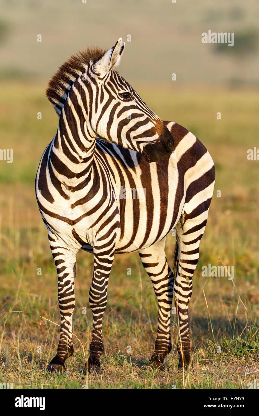 Close up d'un zèbre sur l'Afrique savannah Photo Stock