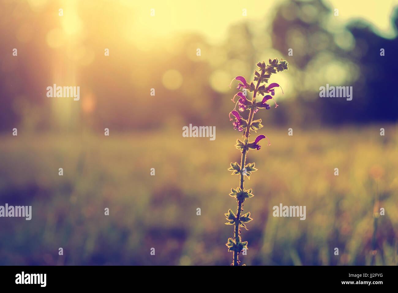 Fleur sauvage mauve dans le coucher du soleil Photo Stock