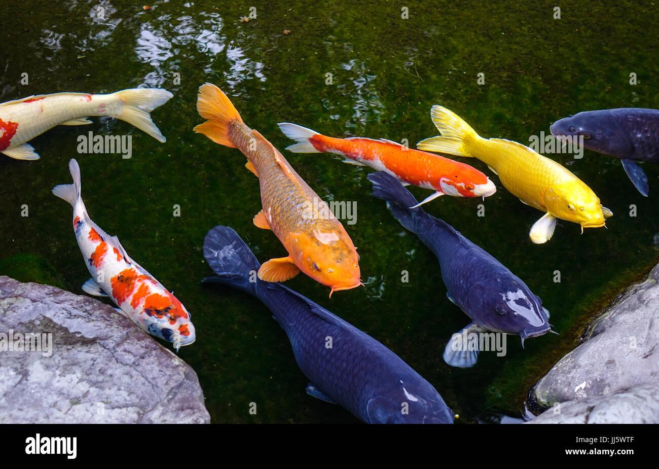 Poisson Rouge Bassin Extérieur close-up of poisson koi sur l'étang à kanazawa, japon. koi