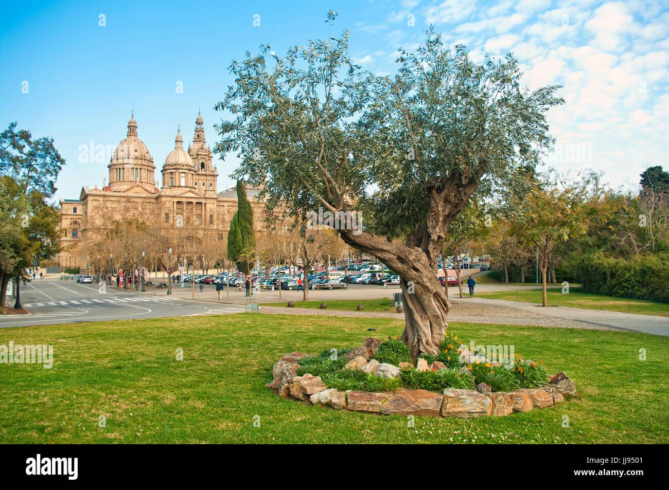 Vieil olivier sur pelouse avec des fleurs avec Musée National d'Art de Catalogne à l'arrière Photo Stock
