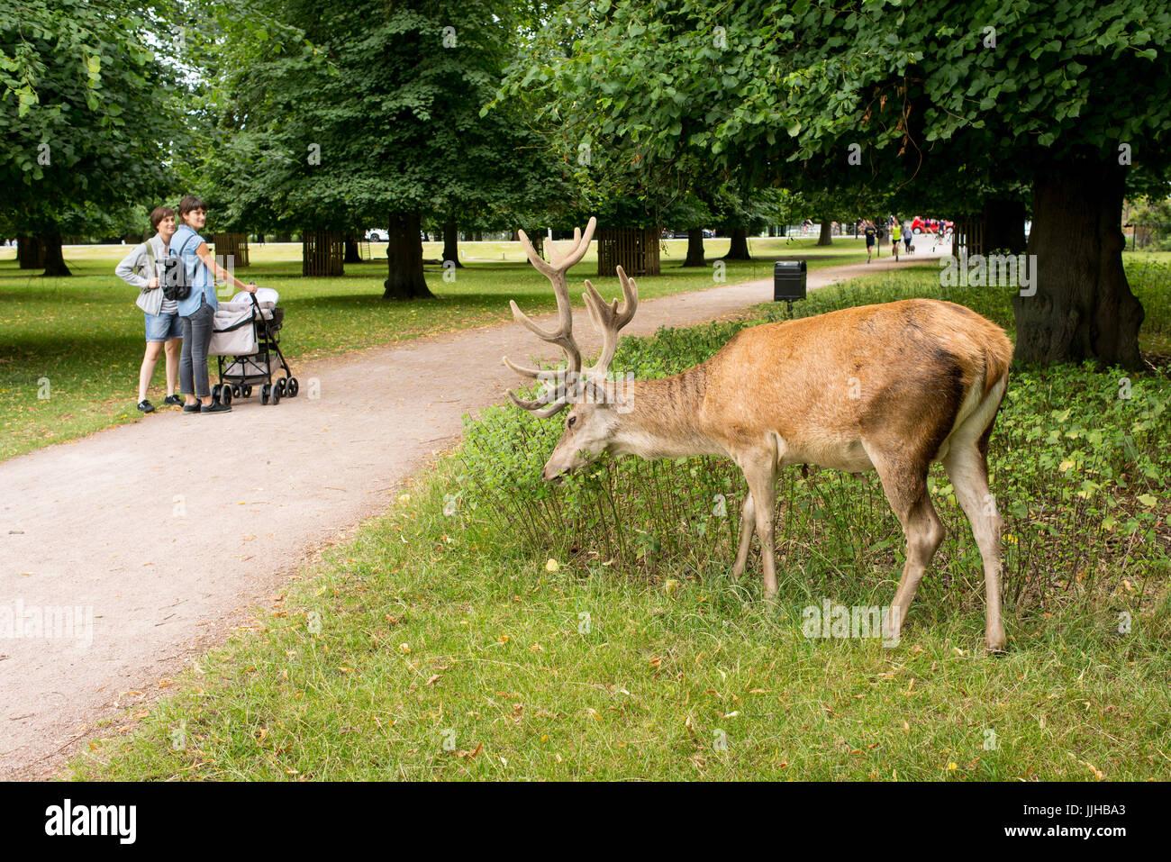 Richmond, London, UK - Juillet 2017: Red Deer se nourrissent d'une prairie d'herbe à côté de Bushy Park deux femmes Banque D'Images