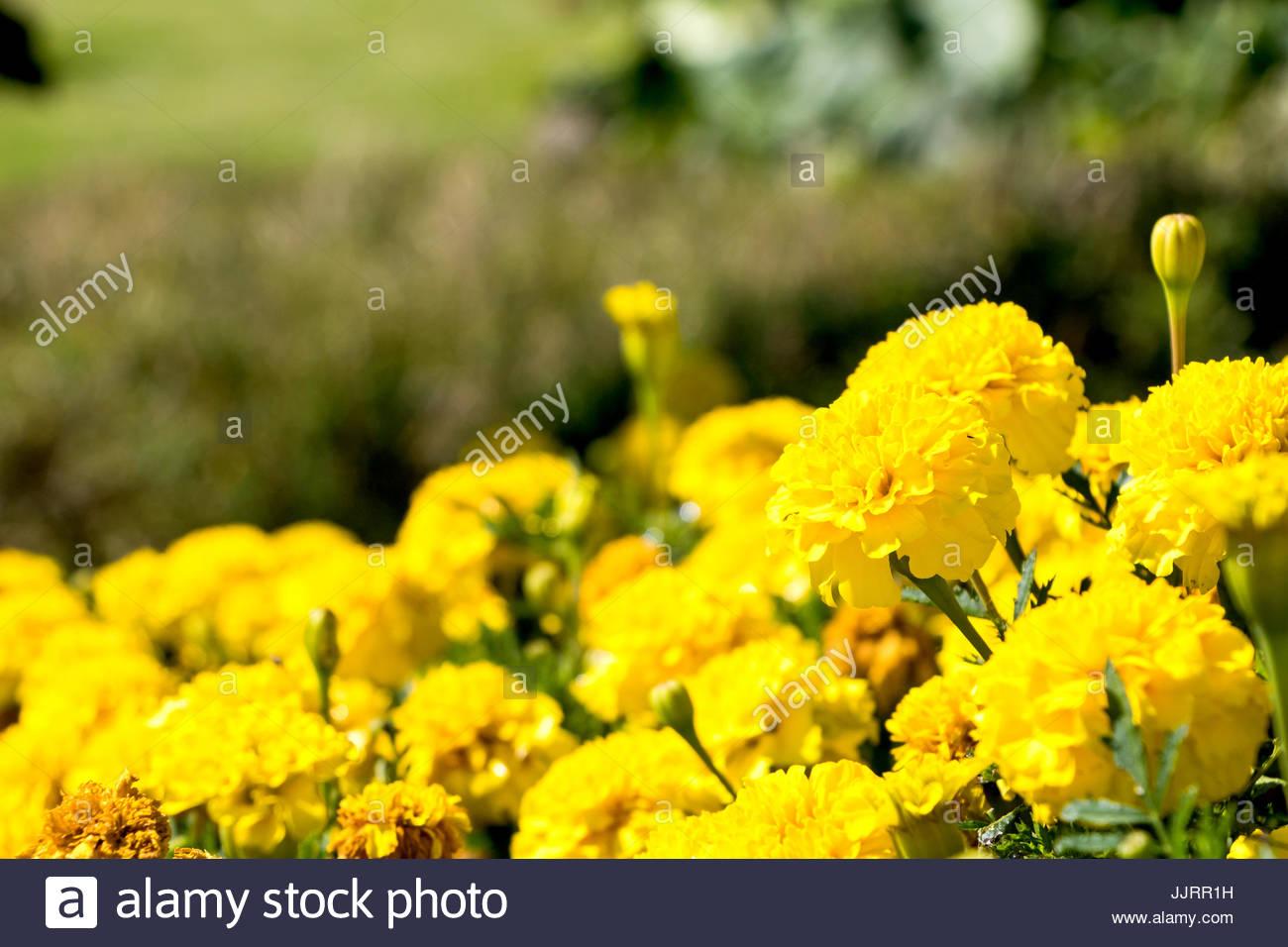 Tagetes patula fleurs Jardin fleurs l\'Europe avec la lumière du ...